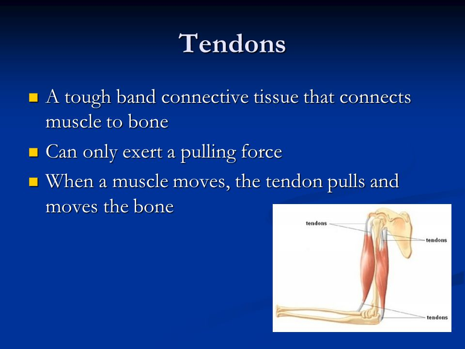 Tendons A tough band connective tissue that connects muscle to bone
