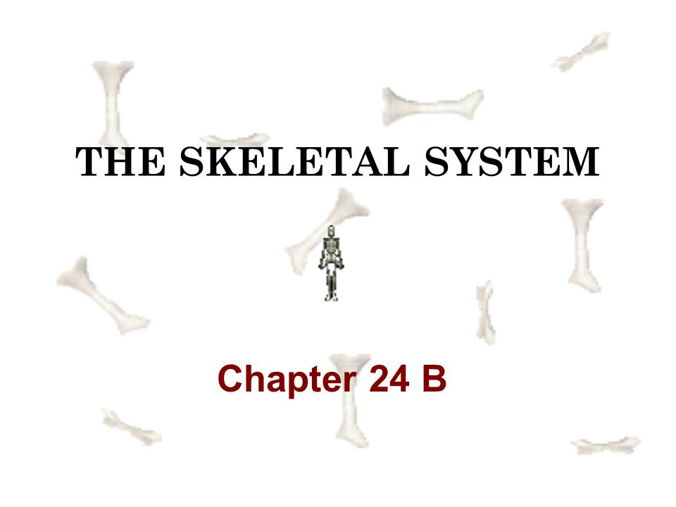 THE SKELETAL SYSTEM Chapter 24 B