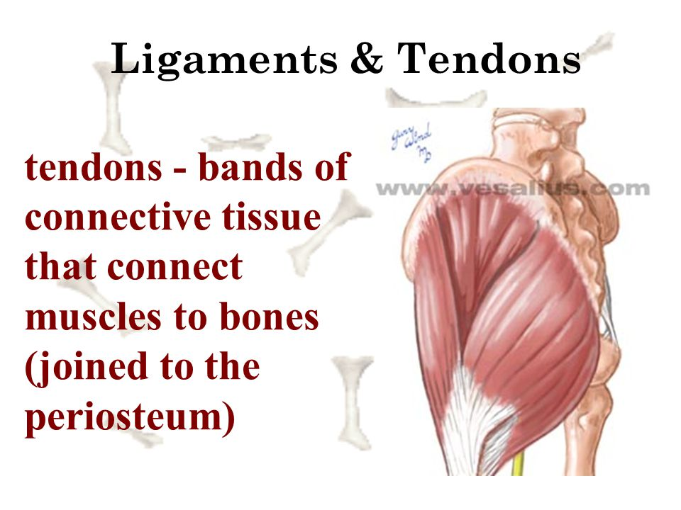 Ligaments & Tendons tendons - bands of connective tissue that connect muscles to bones (joined to the periosteum)