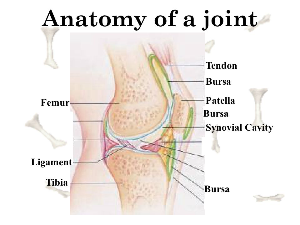 Anatomy of a joint Tendon Bursa Patella Femur Bursa Synovial Cavity