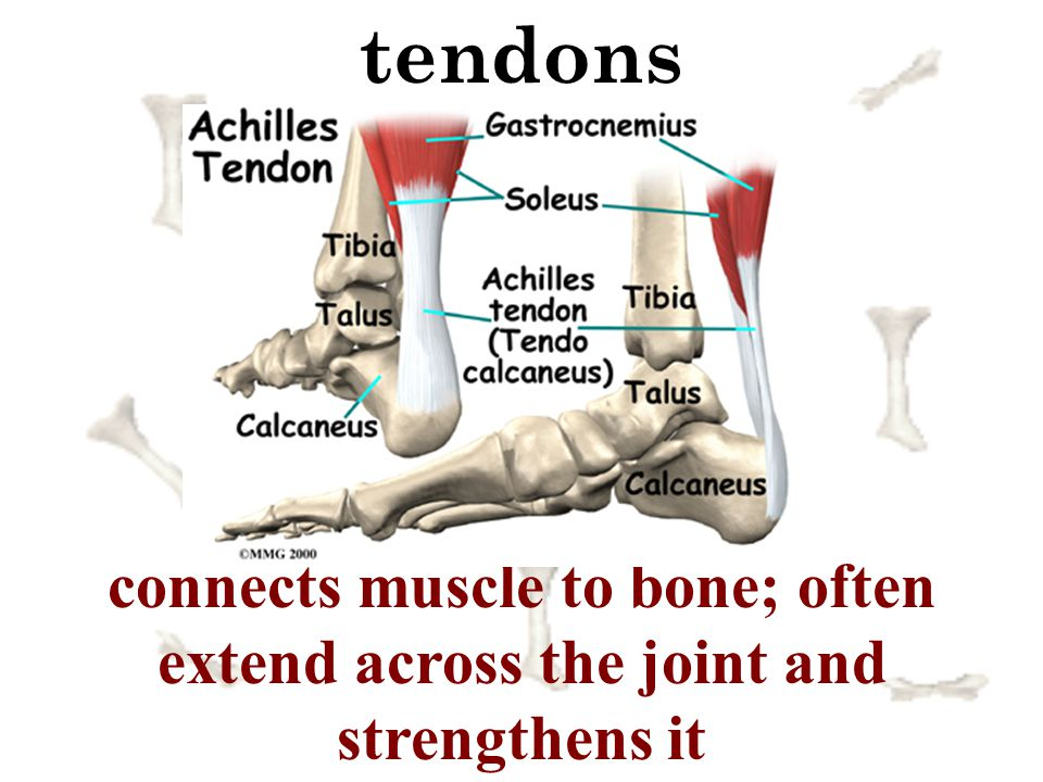 tendons connects muscle to bone; often extend across the joint and strengthens it