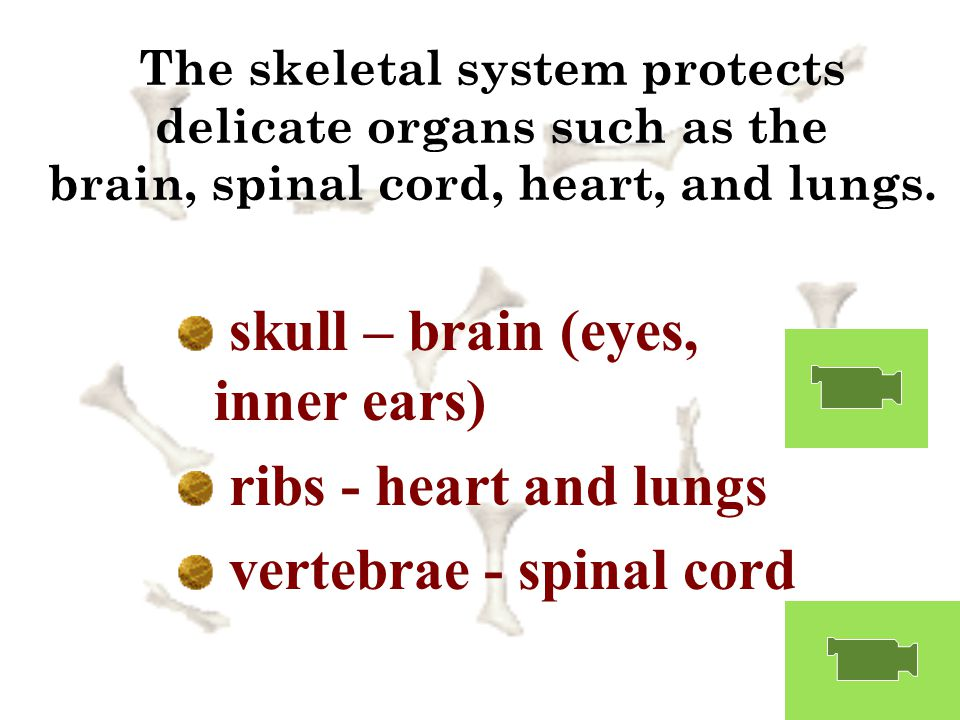 skull – brain (eyes, inner ears) ribs - heart and lungs