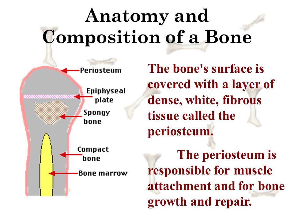 Anatomy and Composition of a Bone