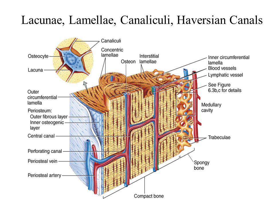 Lacunae, Lamellae, Canaliculi, Haversian Canals