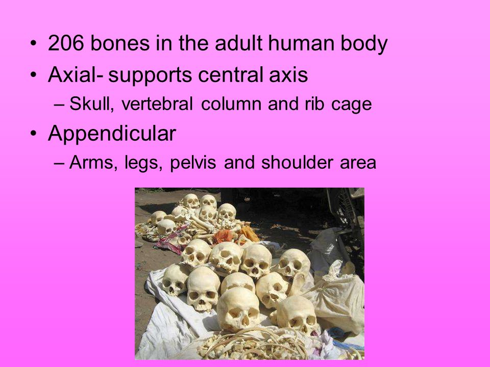 206 bones in the adult human body Axial- supports central axis