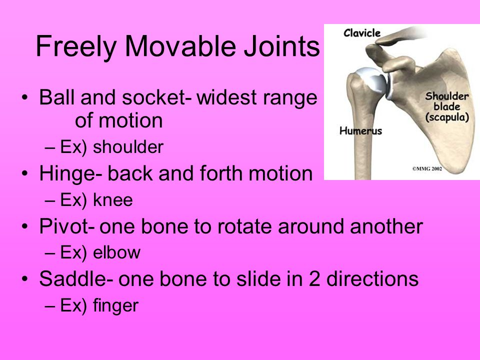 Freely Movable Joints Ball and socket- widest range of motion