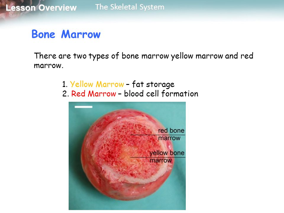 Bone Marrow There are two types of bone marrow yellow marrow and red marrow. 1. Yellow Marrow – fat storage.