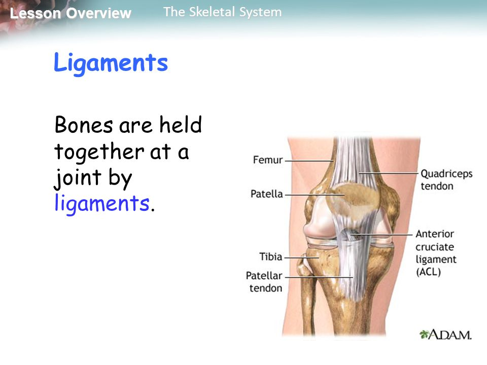 Ligaments Bones are held together at a joint by ligaments.
