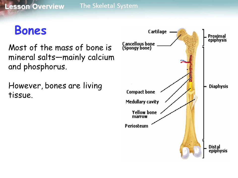 Bones Most of the mass of bone is mineral salts—mainly calcium and phosphorus. However, bones are living tissue.