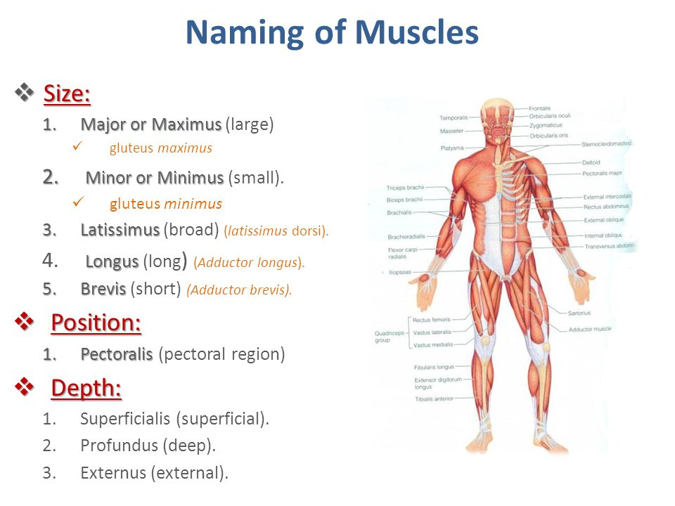 Naming of Muscles Size: Position: Depth: Minor or Minimus (small).