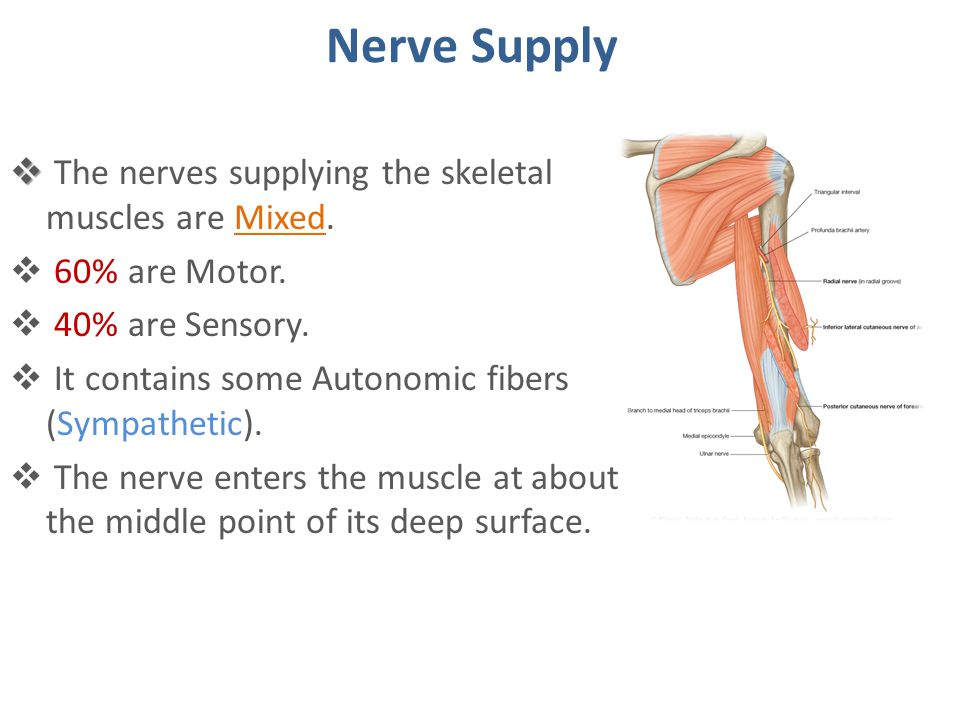 Nerve Supply The nerves supplying the skeletal muscles are Mixed.