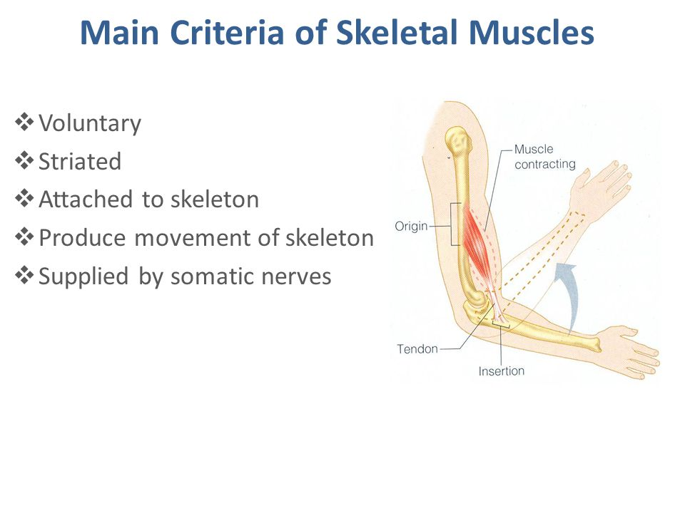 Main Criteria of Skeletal Muscles