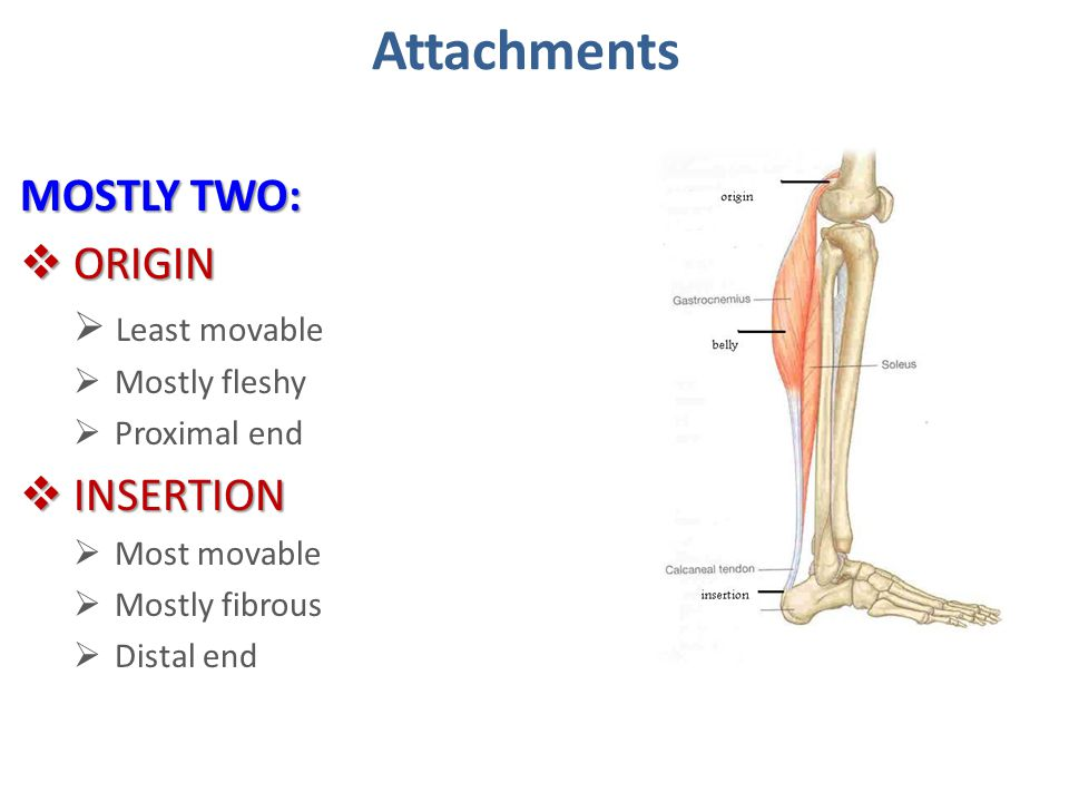 Attachments MOSTLY TWO: ORIGIN INSERTION Least movable Mostly fleshy