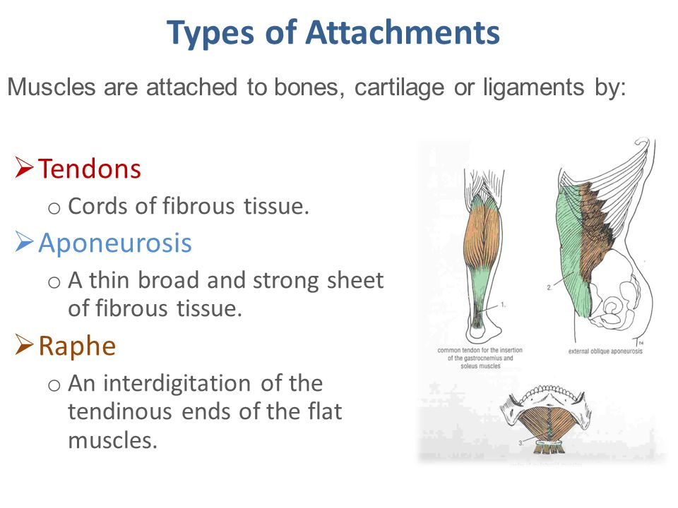 Types of Attachments Tendons Aponeurosis Raphe