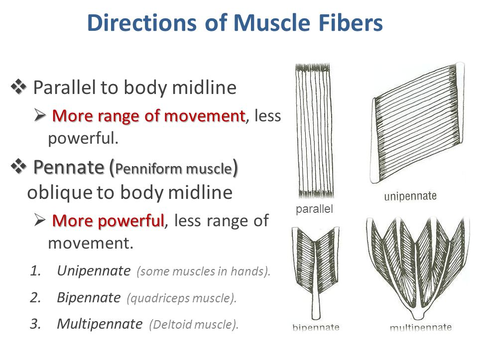 Directions of Muscle Fibers