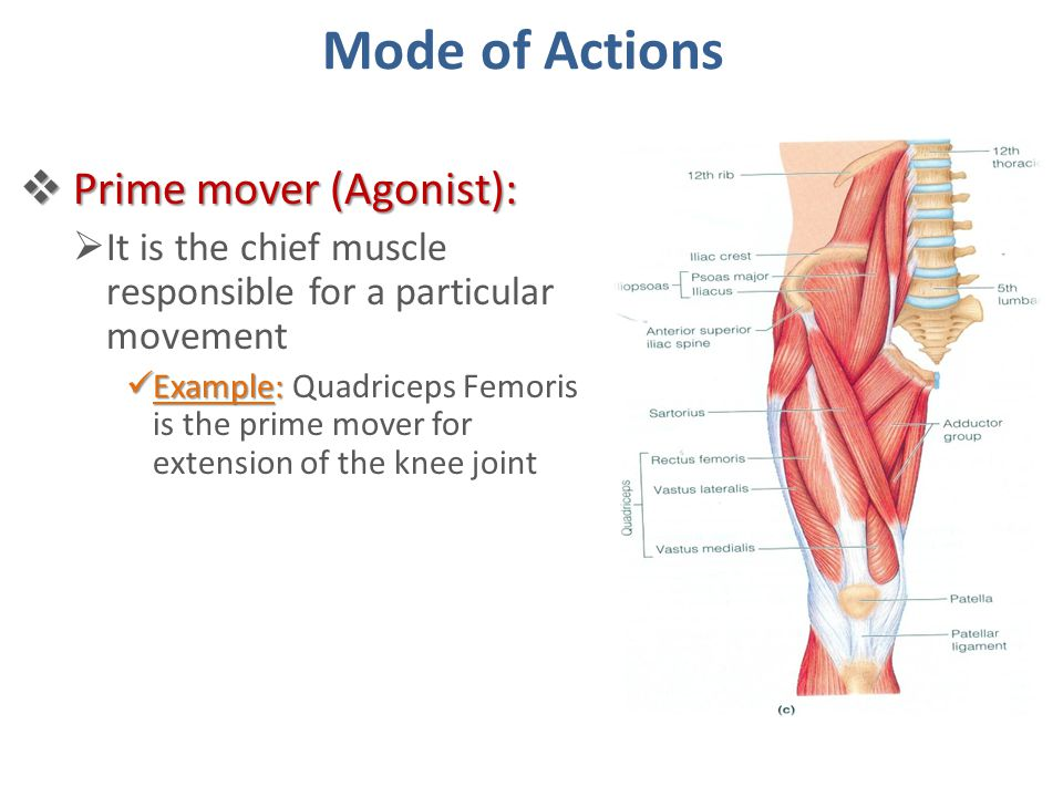 Mode of Actions Prime mover (Agonist):