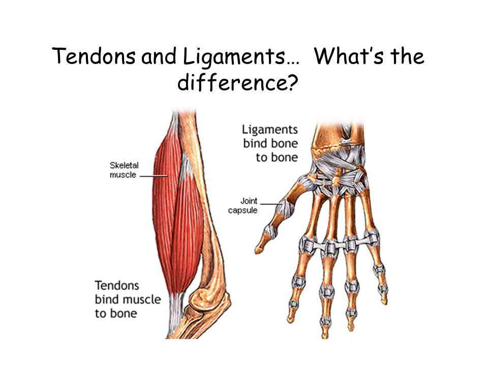 Tendons and Ligaments… What's the difference