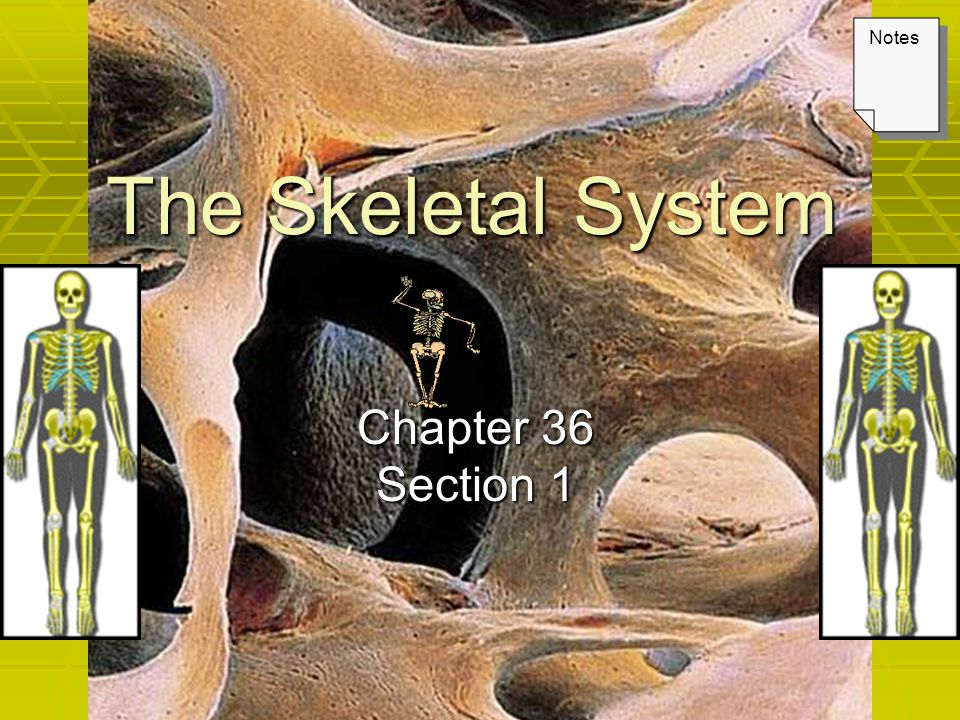 The Skeletal System Chapter 36 Section 1 Notes