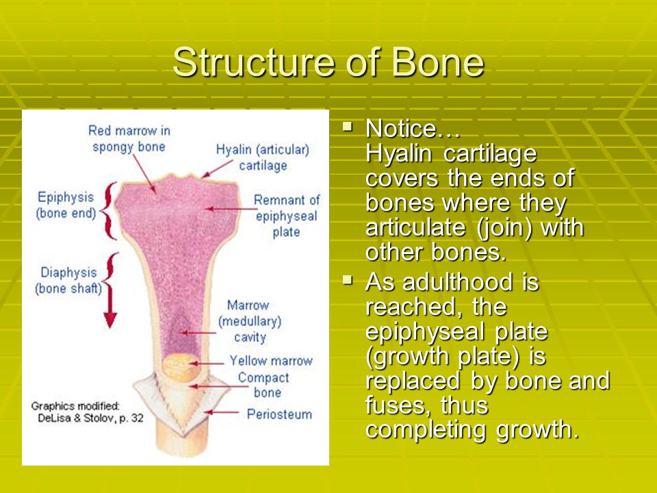 Structure of Bone Notice… Hyalin cartilage covers the ends of bones where they articulate (join) with other bones.