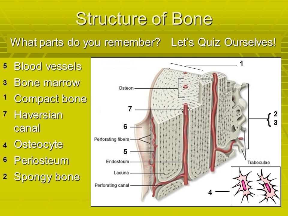 Structure of Bone { What parts do you remember Let's Quiz Ourselves!