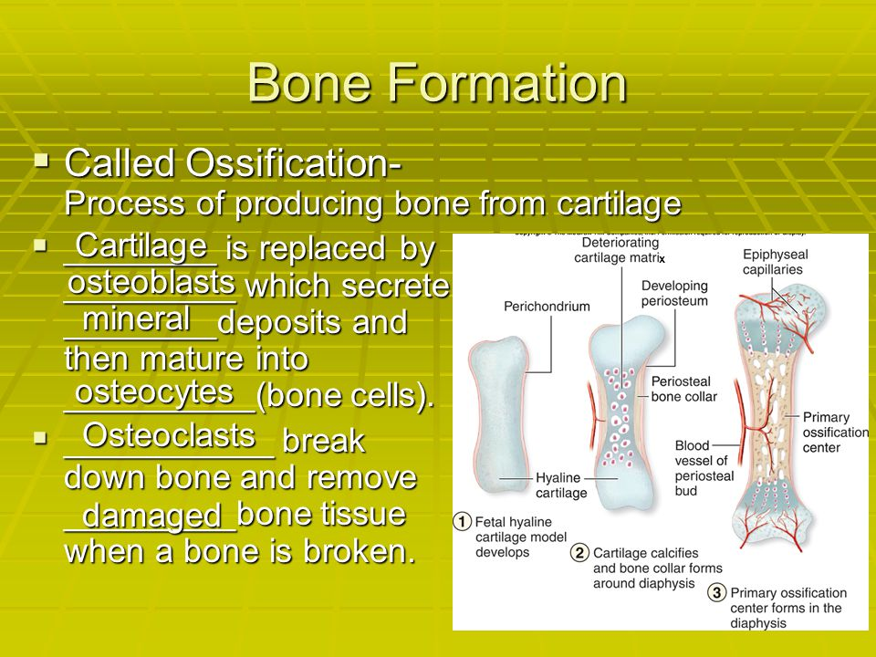 Bone Formation Called Ossification- Process of producing bone from cartilage.