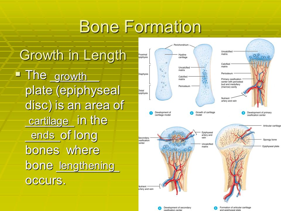 Bone Formation Growth in Length