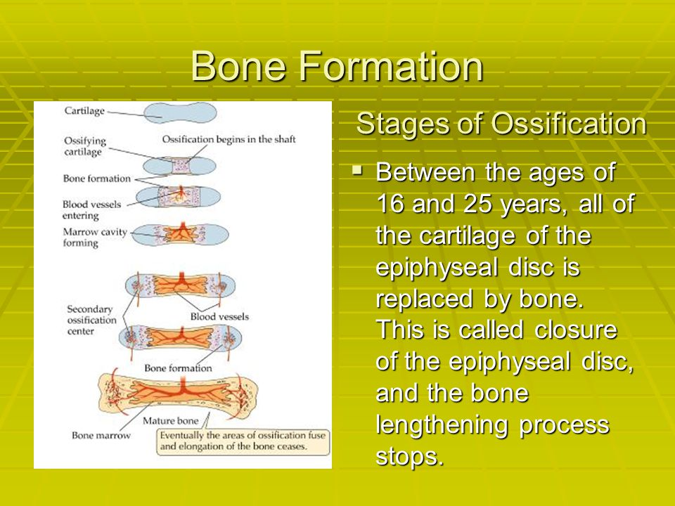Bone Formation Stages of Ossification