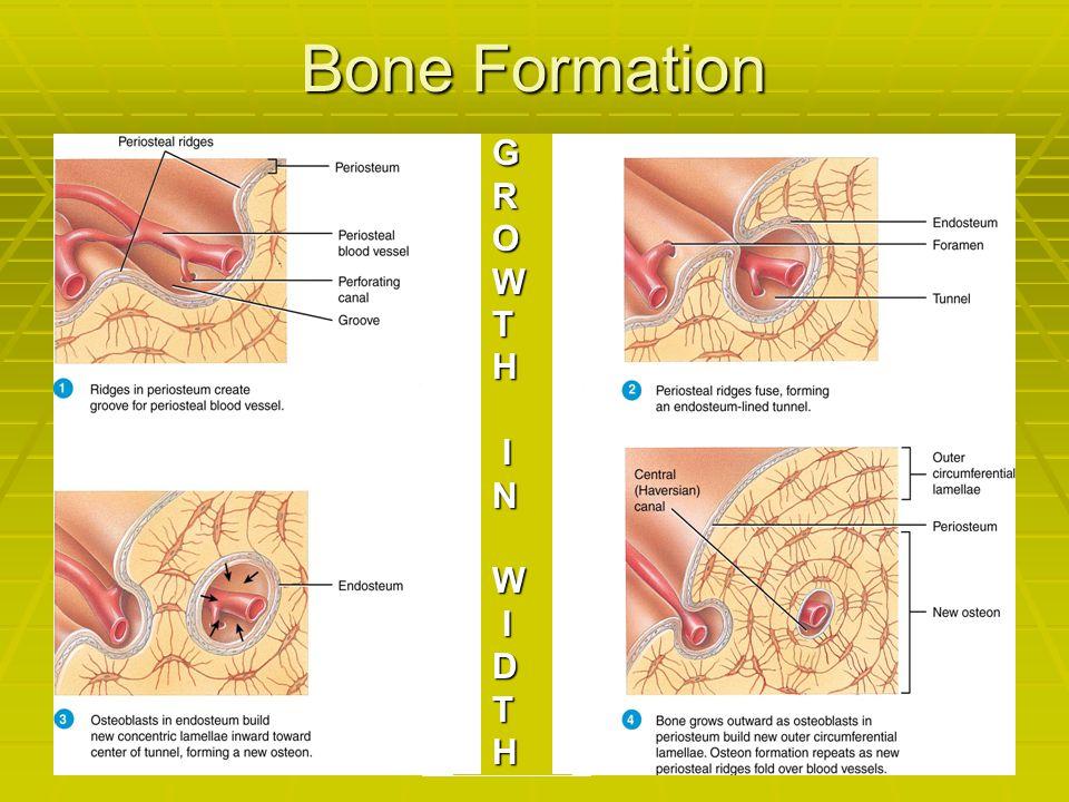 Bone Formation G R O W T H I N D