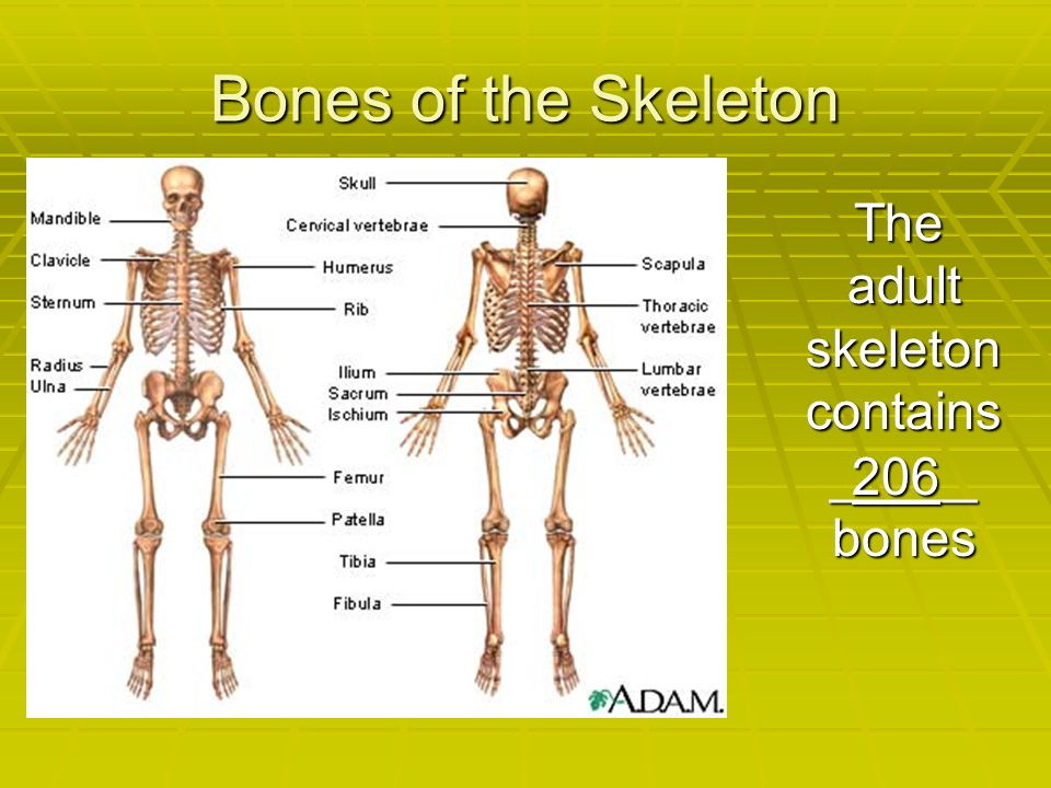 The adult skeleton contains _____ bones