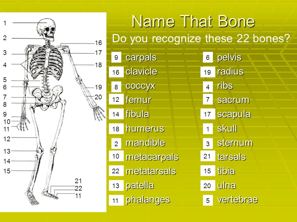 Name That Bone Do you recognize these 22 bones carpals clavicle