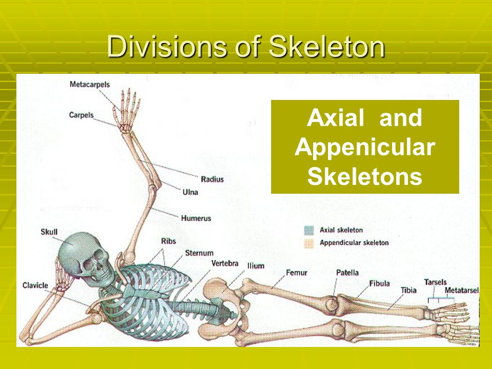Axial and Appenicular Skeletons
