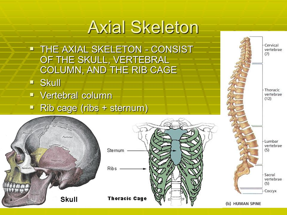 Axial Skeleton THE AXIAL SKELETON - CONSIST OF THE SKULL, VERTEBRAL COLUMN, AND THE RIB CAGE. Skull.
