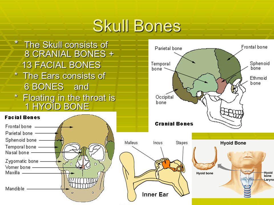 Skull Bones * The Skull consists of 8 CRANIAL BONES + 13 FACIAL BONES