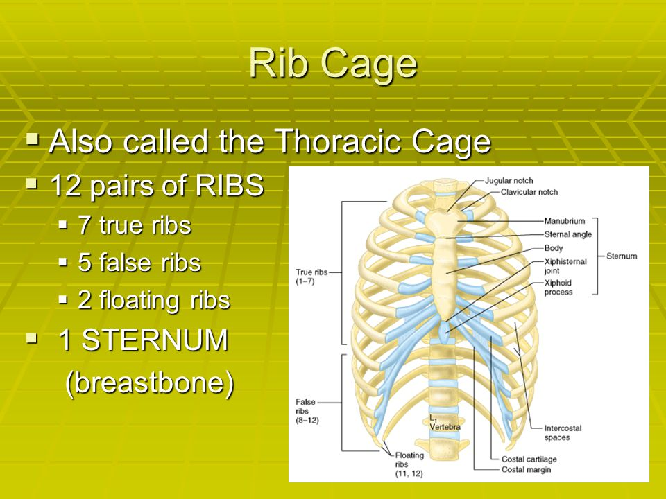 Rib Cage Also called the Thoracic Cage 12 pairs of RIBS 1 STERNUM