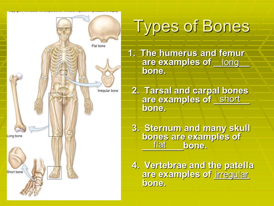 Types of Bones 1. The humerus and femur are examples of _______ bone.