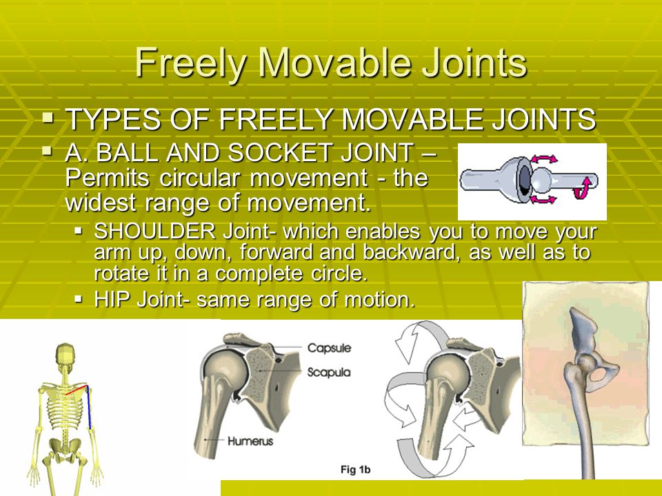 Freely Movable Joints TYPES OF FREELY MOVABLE JOINTS