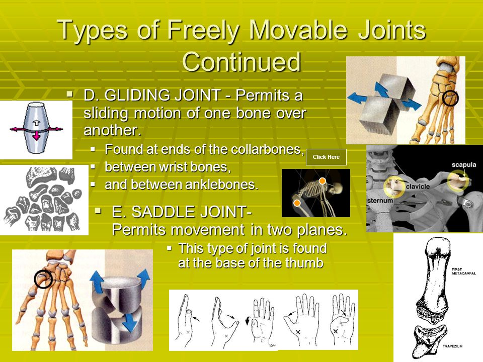 Types of Freely Movable Joints Continued