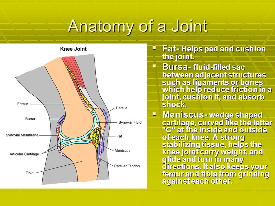 Anatomy of a Joint Fat- Helps pad and cushion the joint.