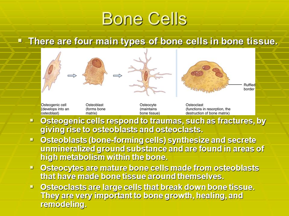 Bone Cells There are four main types of bone cells in bone tissue.