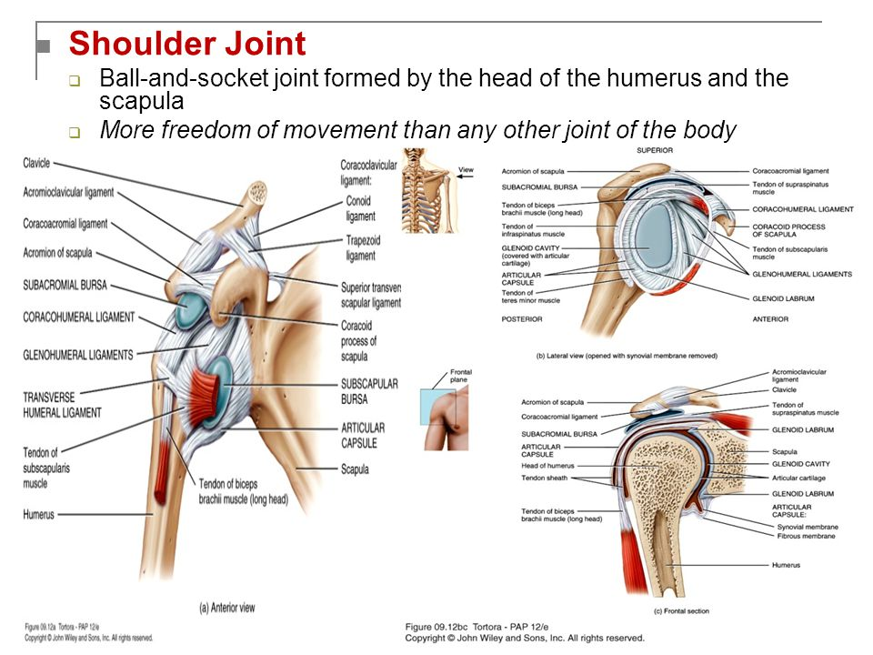 Shoulder Joint Ball-and-socket joint formed by the head of the humerus and the scapula.