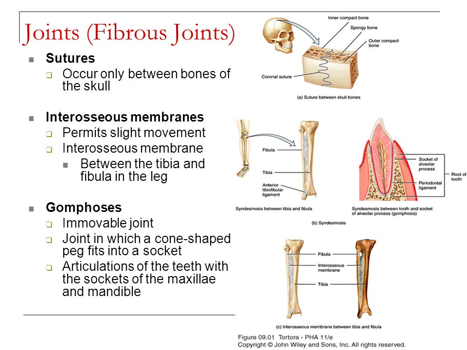 Joints (Fibrous Joints)