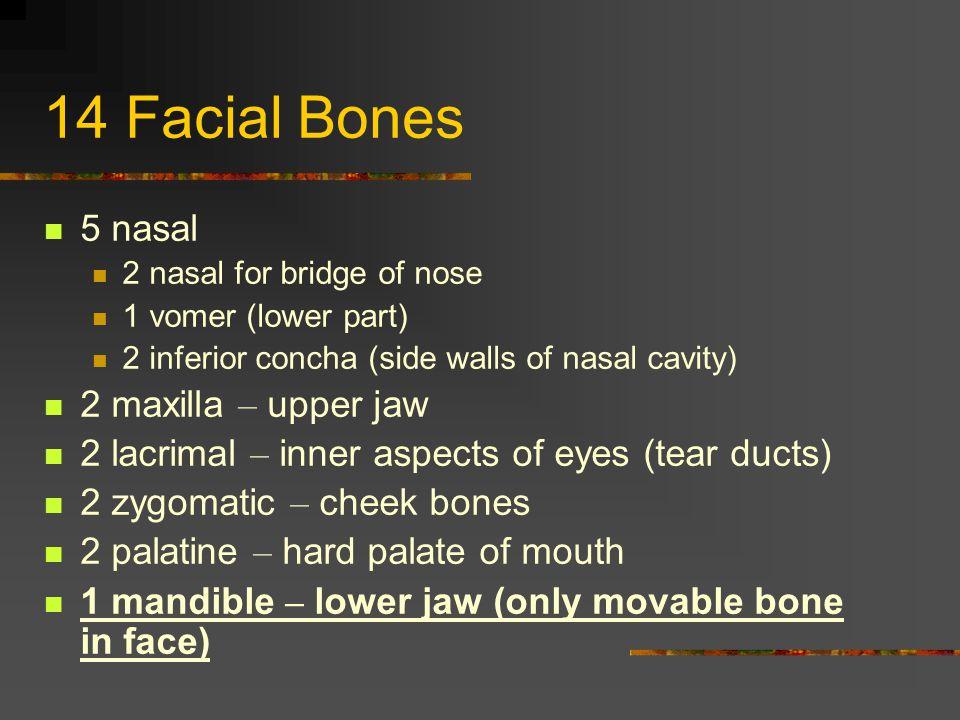 14 Facial Bones 5 nasal 2 maxilla – upper jaw