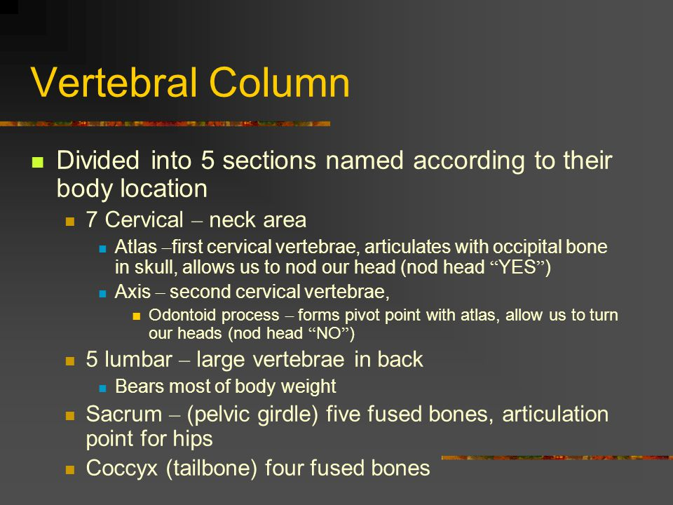 Vertebral Column Divided into 5 sections named according to their body location. 7 Cervical – neck area.