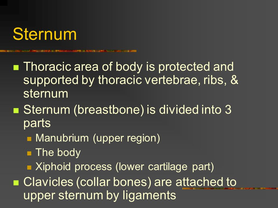 Sternum Thoracic area of body is protected and supported by thoracic vertebrae, ribs, & sternum. Sternum (breastbone) is divided into 3 parts.