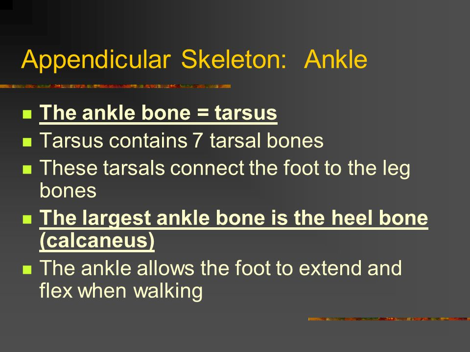 Appendicular Skeleton: Ankle