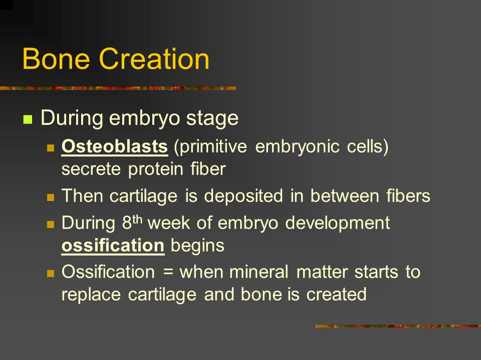 Bone Creation During embryo stage