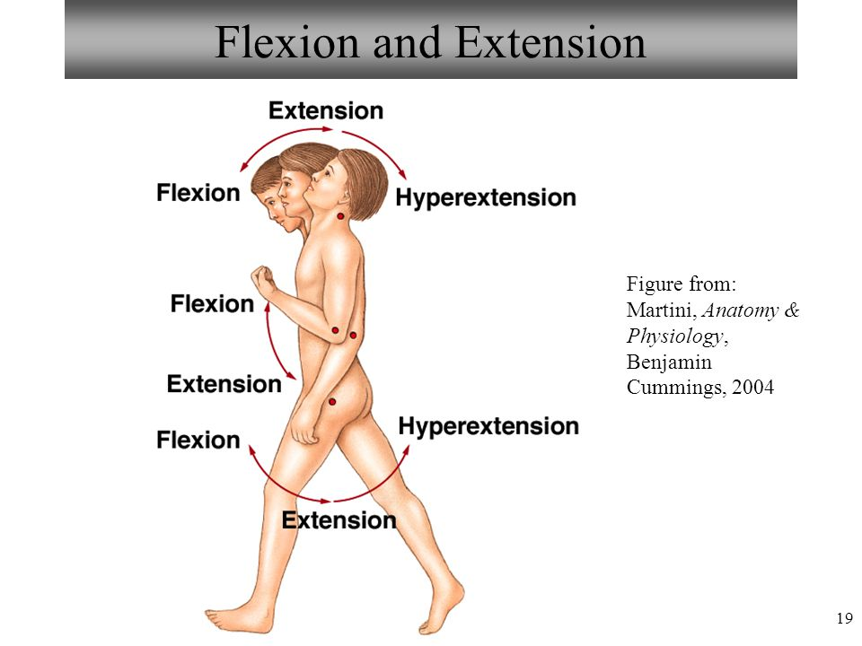 Flexion and Extension Figure from: Martini, Anatomy & Physiology, Benjamin Cummings, 2004