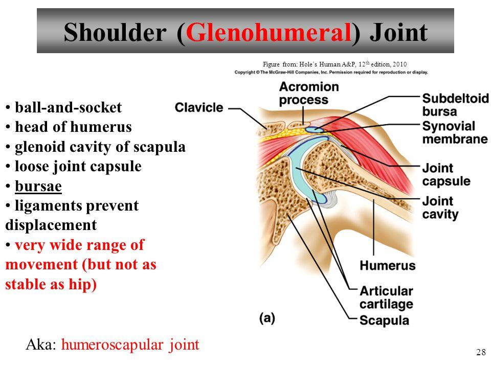 Shoulder (Glenohumeral) Joint