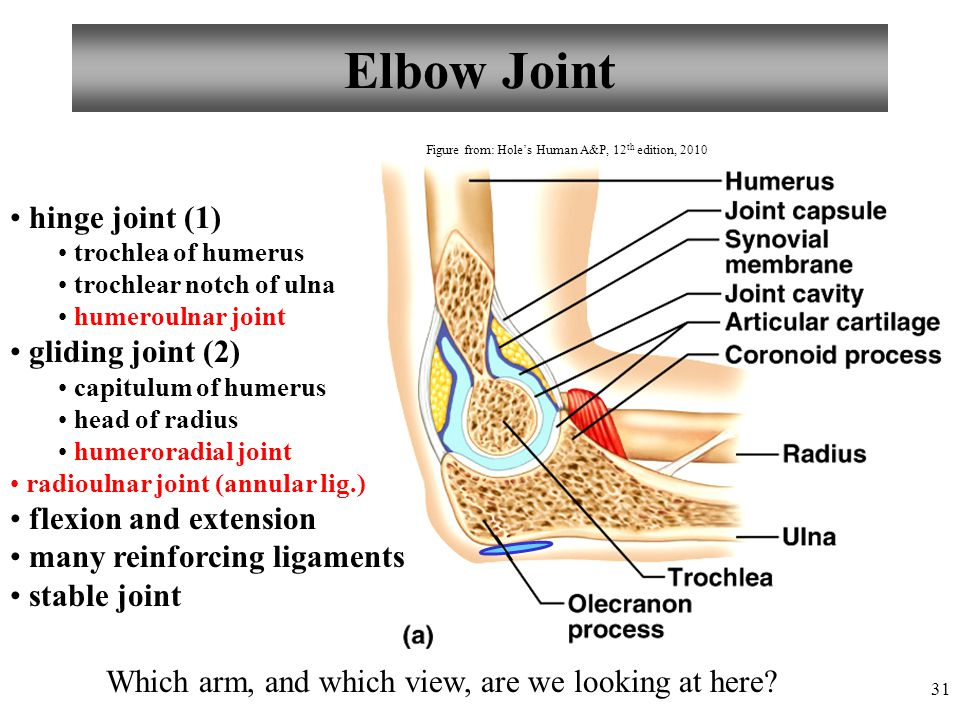Elbow Joint hinge joint (1) gliding joint (2) flexion and extension