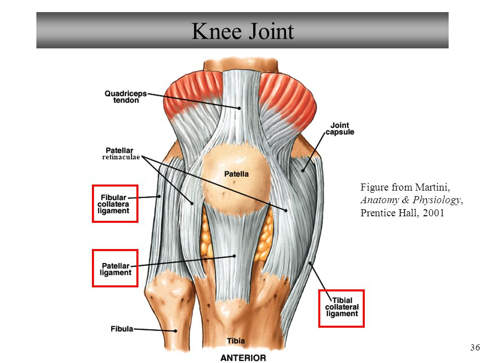 Knee Joint retinaculae Figure from Martini, Anatomy & Physiology, Prentice Hall, 2001